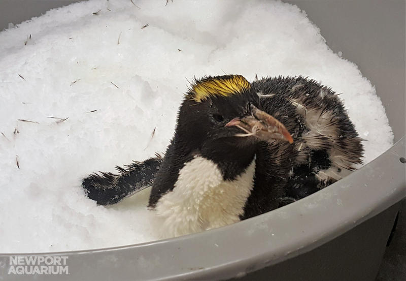 "The Newport Aquarium created an ""ice spa"" to keep Victoria the penguin cool and comfortable when she began molting in March."