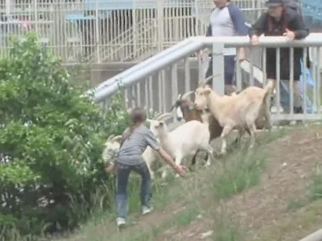 The first year for the event the goats decided to start running on their own and had to be rounded up.