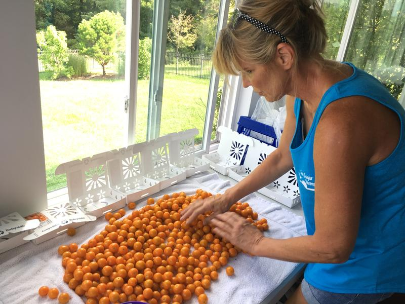 Farmer Linda Fritz sorts her cherry tomatoes before putting them in the biodegradable cardboard boxes she developed.