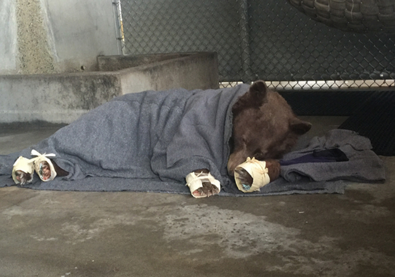The bear's burned paws are wrapped in corn husks to delay the desire to chew off the tilapia bandages.