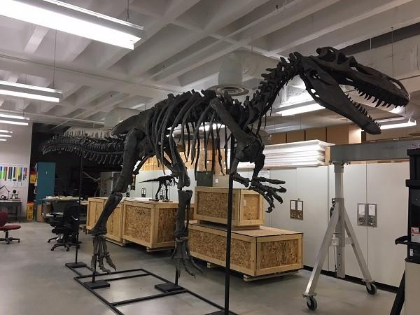The just-unveiled Torvosauros will be part of the Cincinnati Museum Center's new dinosaur exhibit.