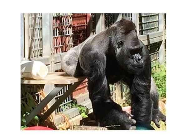 Cincinnati Zoo Files Federal Lawsuit To Have Gorilla Returned From