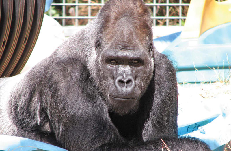 Ndume at The Gorilla Foundation in California.