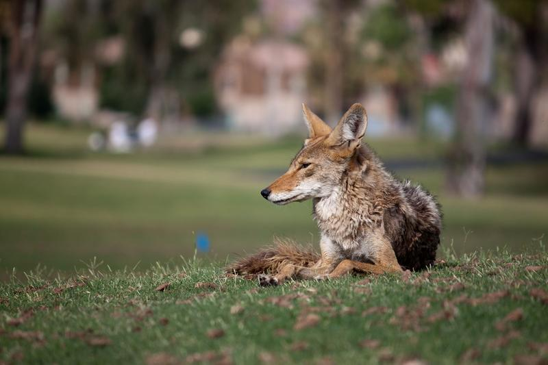 Coyote sightings tend to increase this time of year as February is peak mating season.
