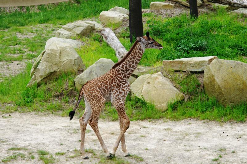 """""""Nasha"""" hurries to catch up with the other giraffes."""