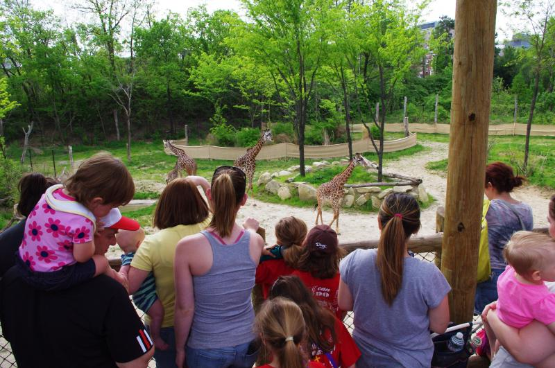 "Giraffe Ridge is one of the most popular destinations within the Zoo now that ""Nasha"" has arrived."