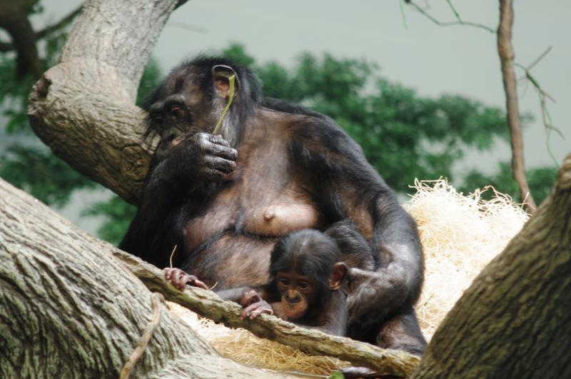 "Bonobos ""Belle"" and her mother are getting along just fine and everyone is healthy again."