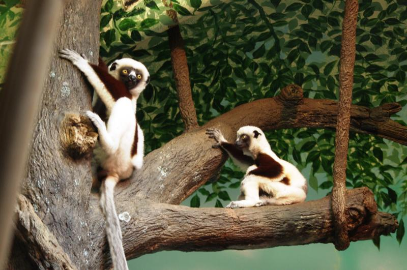 "These may look like lemurs but they're actually Sifaka. Baby ""Andri"" is on the right."