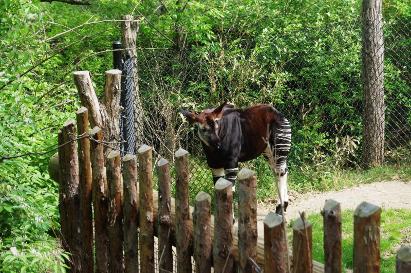 A baby Okapi seeks out a mid-morning snack. Okapi are related to the giraffe family and have long tongues for foraging.