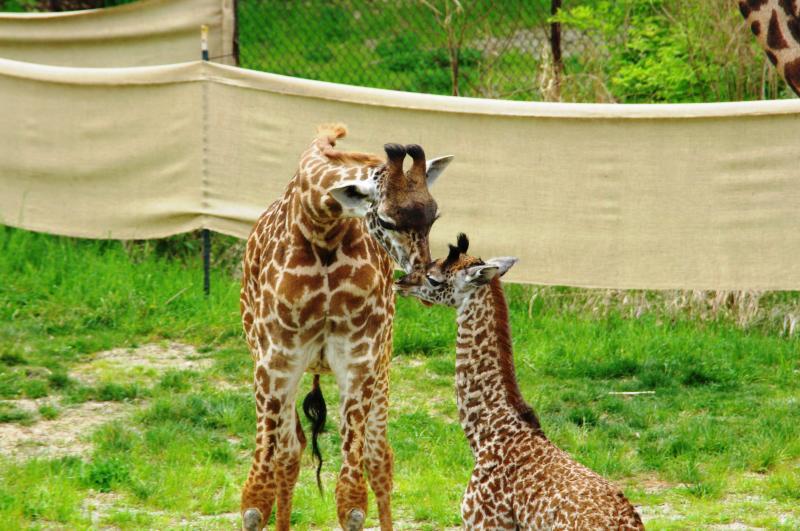 "Big sister ""Lulu"" nuzzles her baby sister, ""Nasha."""