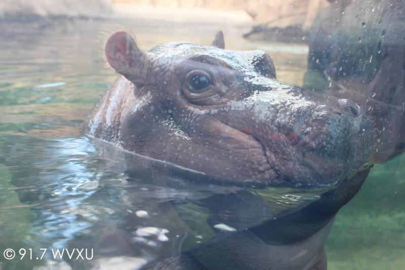 Voters overwhelminly said 'yes' to Fiona, well, the Zoo's levy renewal.