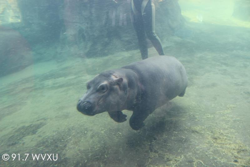 Fiona swimming at the Cincinnati Zoo