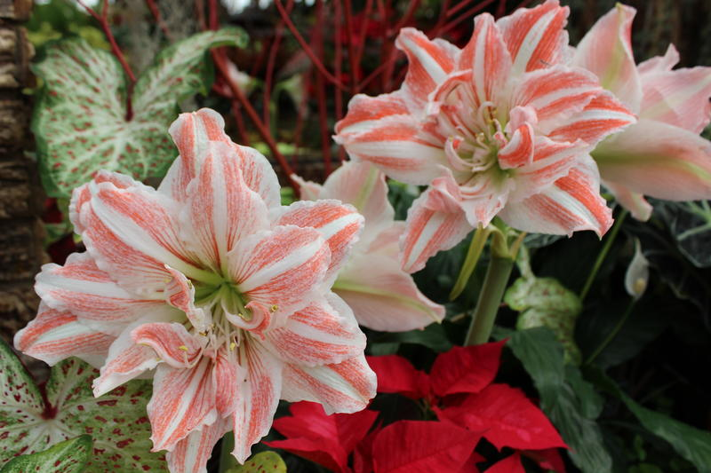 "According to Krohn Conservatory, ""The Poinsettia Express is blossoming with the sweet twist of peppermint this season."""
