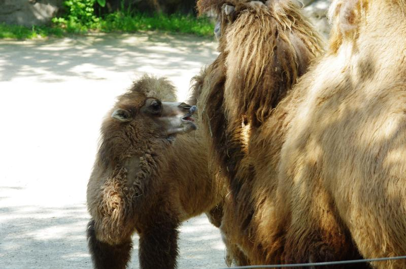 "Baby Bactrian Camel ""Jack"" nuzzels his mother."
