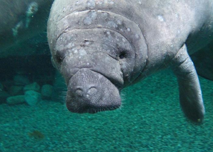 Manatee Finds New Home Wvxu