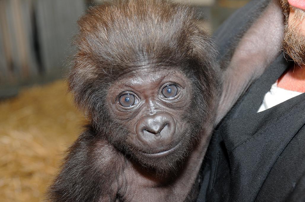 Zoo Names Baby Gorilla Wvxu