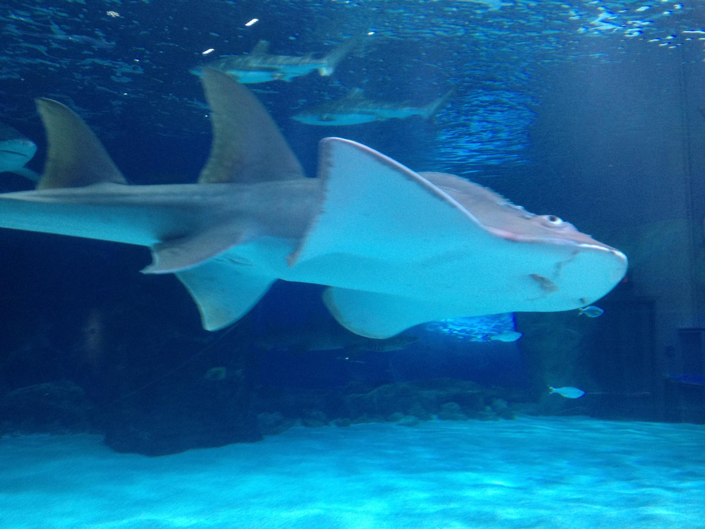 newport aquarium studying why shark ray pups died  sweet pea is back on exhibit at the newport aquarium