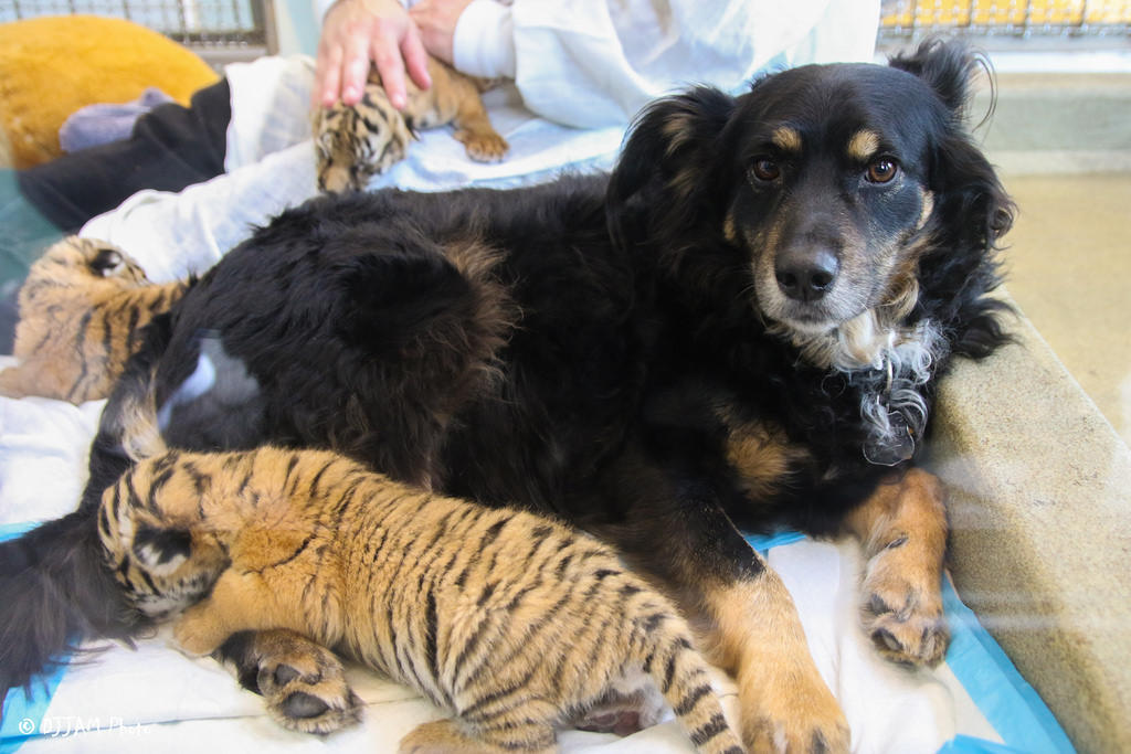 Dog Helps Care for Tiger Cubs After They Are Ignored by Mom
