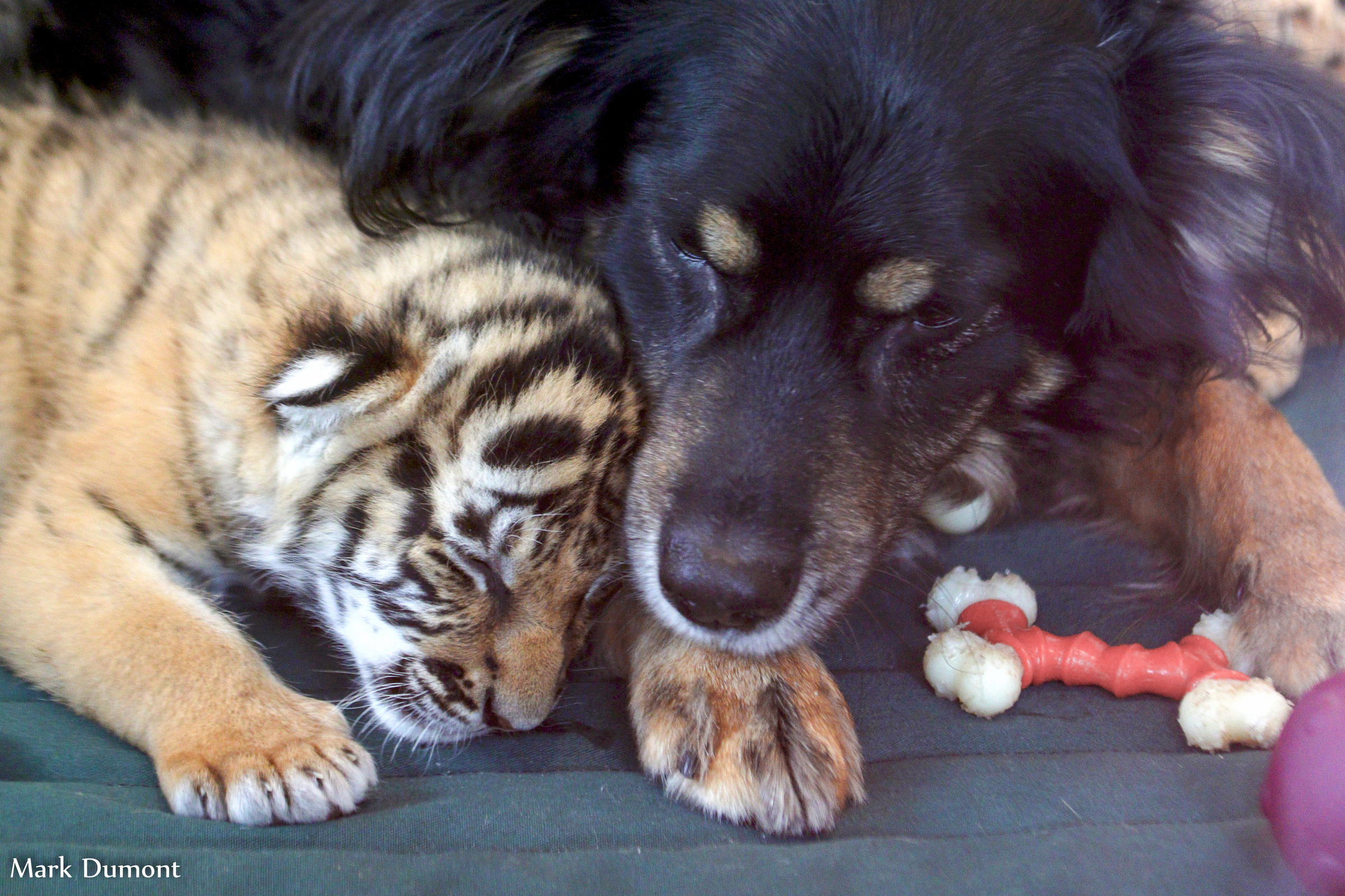 Year-old dog raises 3 abandoned tiger cubs