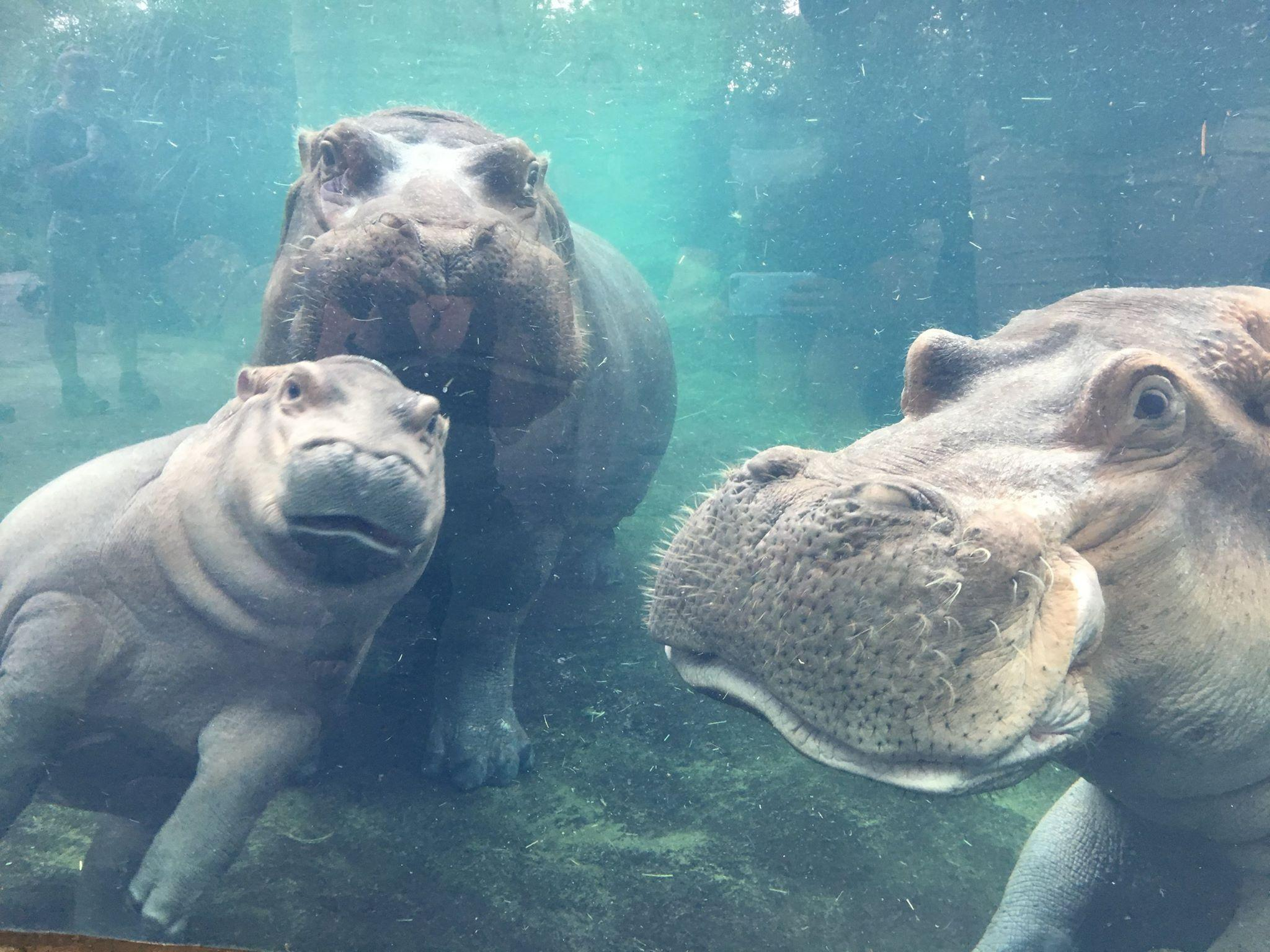 Premature baby hippo, Fiona, pictured with parents for first time