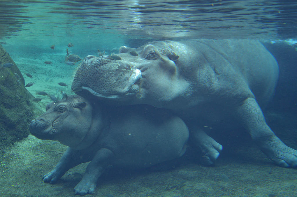 Dad of Cincinnati Zoo's famous baby hippo dies at age 36