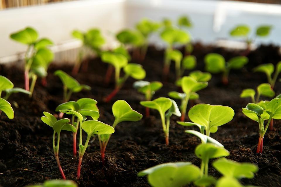 Radish Plants Get A Head Start Indoors.