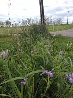 Native species like irises are planted in rain gardens.
