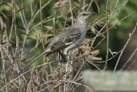 A Louisiana Mockingbird