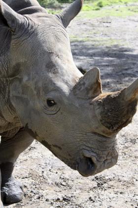 Bonnie the rhinoceros. A rhino's best-developed sense is her hearing.