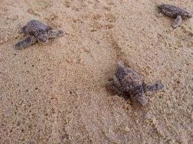 Newly-hatched Loggerhead Sea Turtles making their way to the ocean.