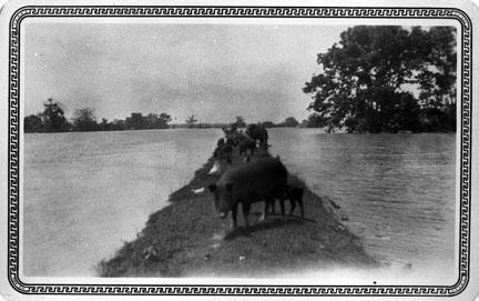 Stranded livestock, 1927, photoprint