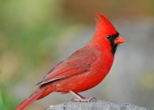 The National Wildlife Federation is begining a new program to refurbish habitat for migrating songbirds.