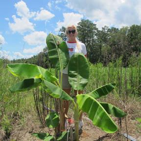 Pontchatoula farmer Heather Robertson standing among the 2012 planting of bananas on her farm. The banana project is funded with support from the Louisiana Department of Agriculture and Forestry via a USDA Specialty Crops Block Grant.