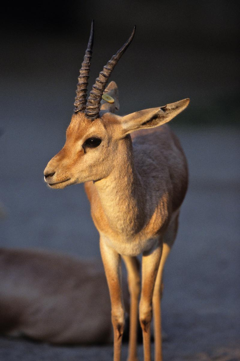 The slender-horned gazelle is among the animals to be bred at the Audubon Species Survival Center.