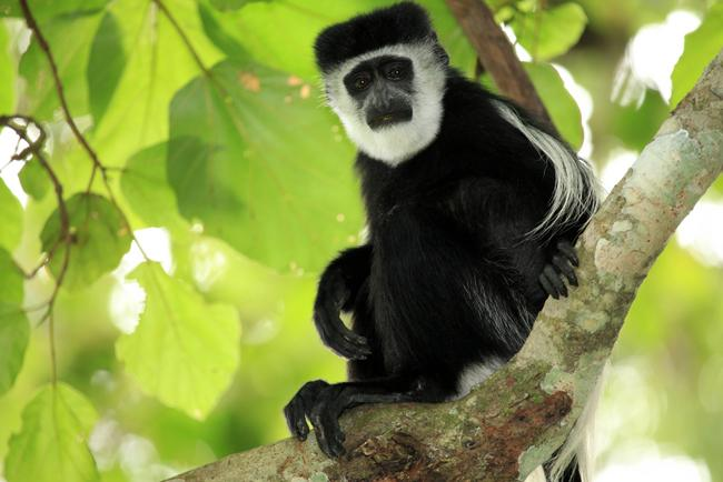 An African Colobus monkey.