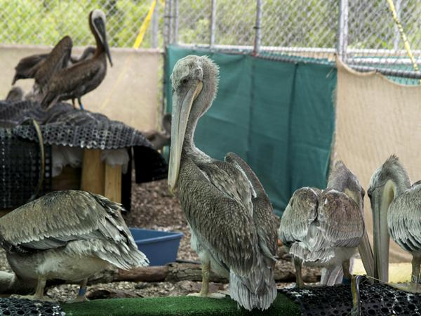 Immature Brown Pelicans, recupertating after the Gulf Oil Spill. The zoo says Hugo's replacement should come by for some Pelican lessons.