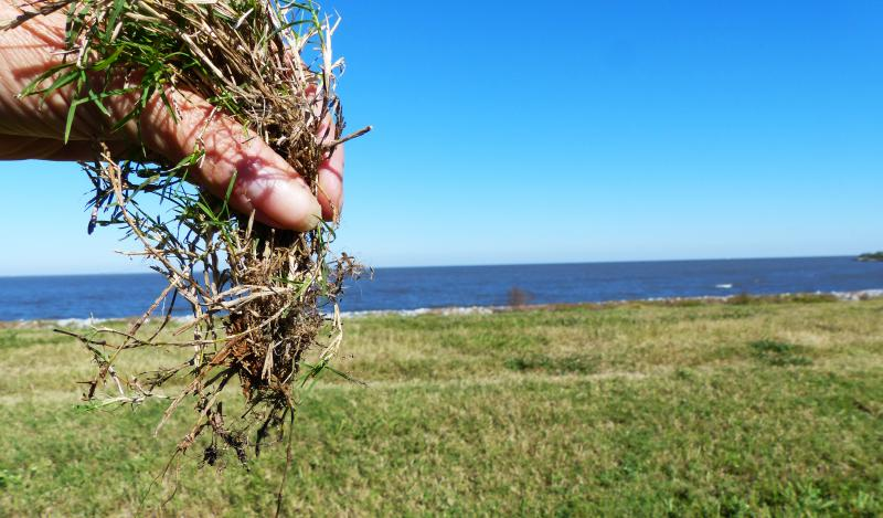 Bermuda grass is considered ideal grass for armoring local levees because its dense root mass holds soils and it grows well in the local climate.