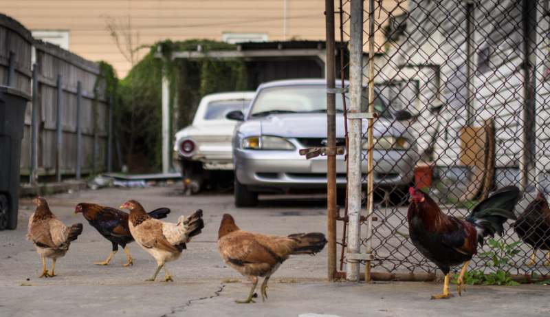 Feral chickens on Dumaine.