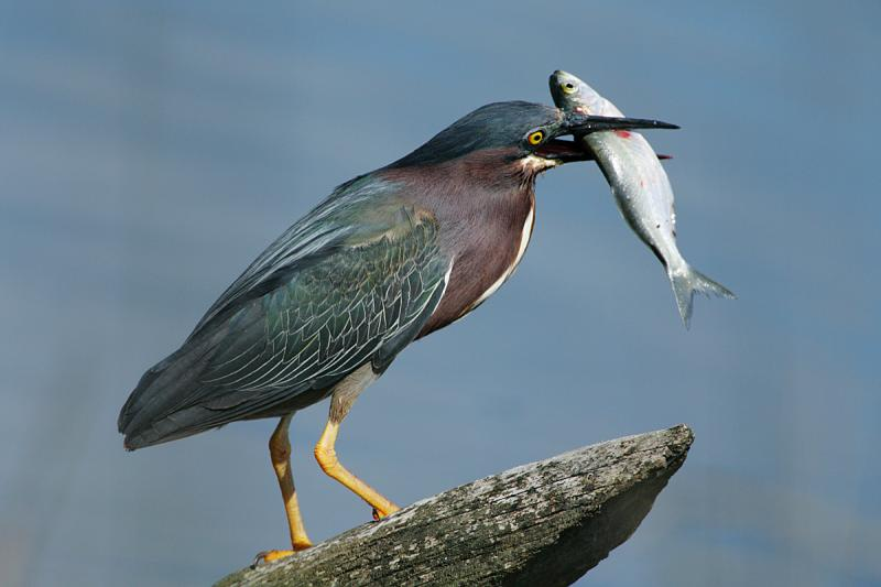 A green heron with lunch (Menhaden).