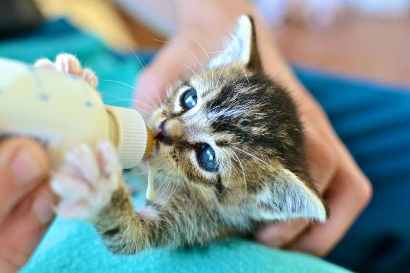Many animal shelters have kitten foster programs.