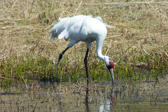 There's a reward of up to $10,000 for information leading to the conviction of the person who shot a female whooping crane released about a year ago.