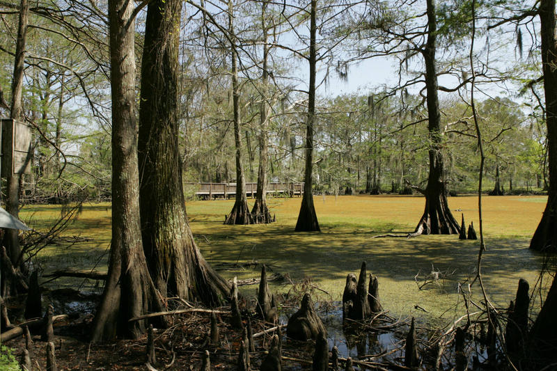 Cypress trees in Lacassine National Wildlife Refuge, stretching across Cameron and Evangeline Parishes in southwestern Louisiana.