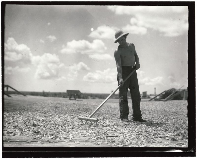 Man with a rake and drying shrimp