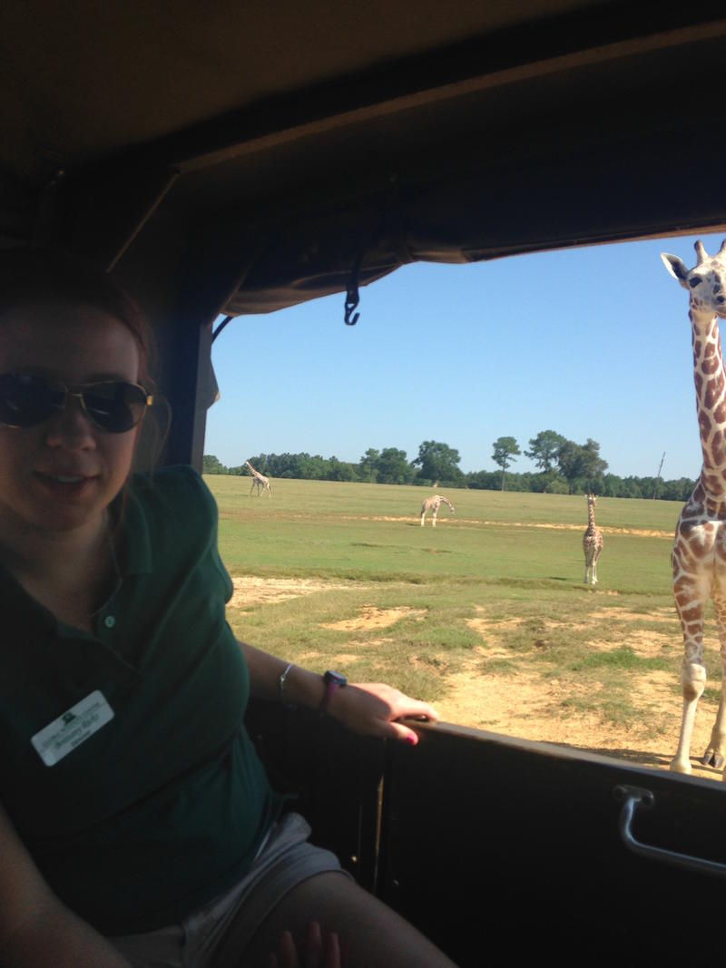 Director of the Global Wildlife Center, Brittany Ricks, checks on their family of reticulated giraffes from a jeep.