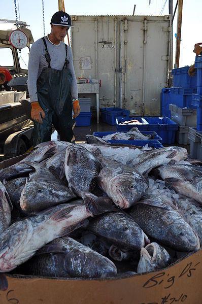 Drum fish caught in Louisiana.