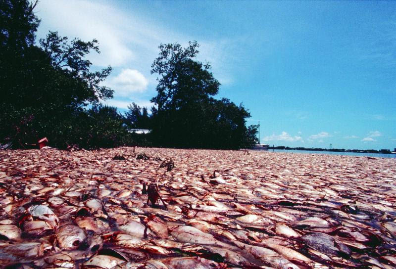 Thousands of fish were killed by a red tide along Southwest Florida's Gulf Coast during a 2002 bloom. Red tide blooms can wreak havoc on local communities dealing with tourism losses or the cost of cleanup.