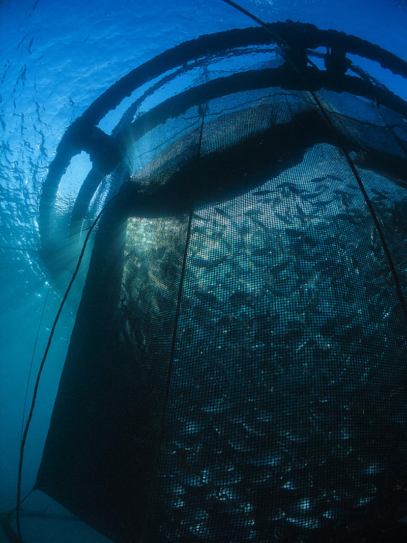 Royal Bream raises fish in a floating net in Marseille, France. This represents one type of farming technologies that could work in the Gulf.