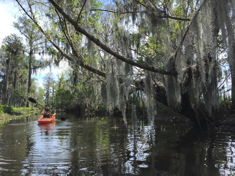 Coastal Desk reporter, Tegan Wendland, kayaks in Maurepas swamp in 2016. Join her for a tour of Bayou St. John!