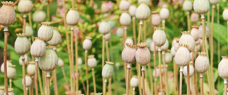 Poppies are grown to produce opiates.
