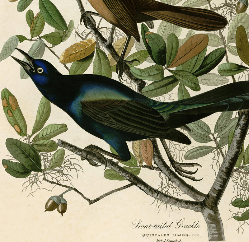 The boat-tailed grackle
